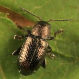 Chaetocnema irregularis