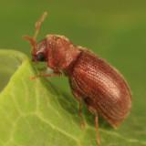 Drugstore Beetle - Stegobium paniceum