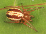 Araneus pratensis