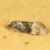 3778 - Cochylis nana