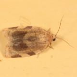 3632 - Broken-banded Leafroller - Choristoneura fractivittana