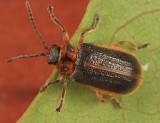 Galerucella nymphaeae
