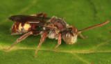 Cresson's Nomad Bee - Nomada cressonii