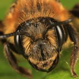 Andrena nivalis