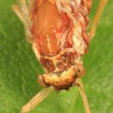 Ephemerellidae
