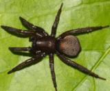 Gnaphosa muscorum (female)