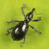 Myrmex chevrolatii