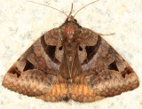 8731 - Toothed Somberwing - Euclidia cuspidea