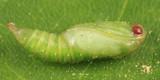 3623 - Oak Leafroller - Argyrotaenia quercifoliana