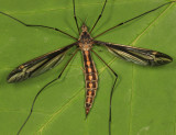 Tipula noveboracensis