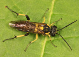 Macrophya alba