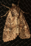 9362.2 - Small Clouded Brindle - Apamea unanimis