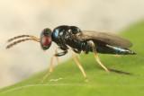 Chalcid Wasps - Eulophidae