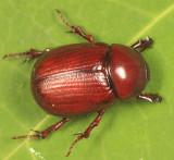 Aphonus castaneus