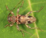 Urgleptes signatus