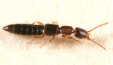 Scopaeus sp.