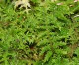 fern-like moss