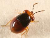 Isthmocoris piceus (nymph)