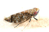 Latalus ocellaris