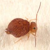 Sminthurus fitchi