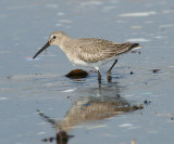 Dunlin - Calidris alpina (winter plumage)