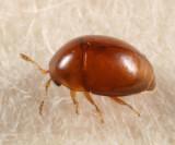 Rypobius marinus