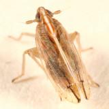 Stenocranus felti (short-winged form)
