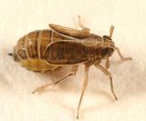 Muellerianella laminalis (gravid female)