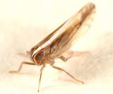 Stenocranus acutus