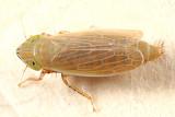 Arthaldeus pascuellus