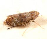 Latalus sayii (female)