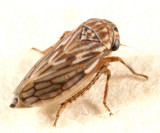 Leafhoppers genus Ceratagallia