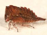 Ceresa albescens nymph