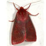 9951 - Psectraglaea carnosa