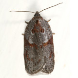 3543 - Stained-back Leafroller Moth - Acleris maculidorsana