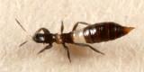 Predatory Thrips - Aeolothripidae