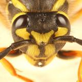 Vespula maculifrons (queen Eastern Yellowjacket)