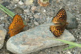 male & female Atlantis Fritillary - Speyeria atlantis