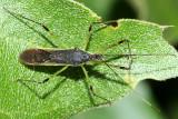 Zelus luridus
