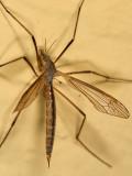 Tipula paterifera (female)