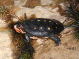 baby Spotted Turtle - Clemmys guttata
