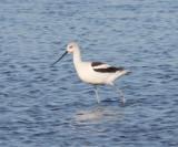 Shorebirds - genus Recurvirostra