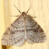 7437-Bruce Spanworm Moth -- Operophtera bruceata (male)