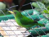 Green Honeycreeper - Chlorophanes spiza