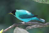 Green Honeycreeper male - Chlorophanes spiza