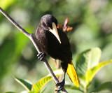 Crested Oropendola - Psarocolius decumanus