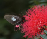 Cattle Heart butterfly - Parides anchises