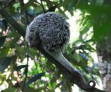 Prehensile-tailed Porcupine - Coendou sp.