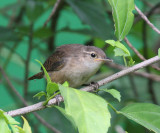 Tropical House Wren - Troglodytes aedon
