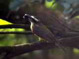 Boat-billed Flycatcher - Megarynchus pitangua